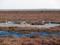 Camargue mit Flamingos