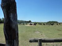 Camargue - schwarze Stiere und weiße Pferde