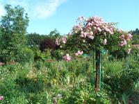 Rosen im Garten von Claude Monet