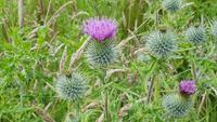 Guardian Thistle