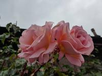 Duftende Rosen in den Vorgärten von Luss