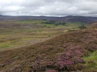 Blühende Heide in den Highlands