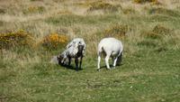 Dartmoor Schafe