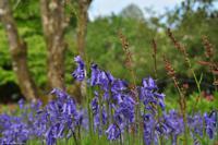 Südengland - Lanhydrock House & Gardens - Blue bells