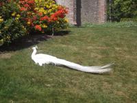 weißer Pfau im Park von Scone Palace