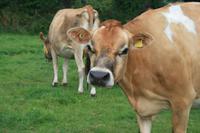 Hübsche Jersey-Kühe