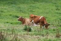 Guernsey Kühe