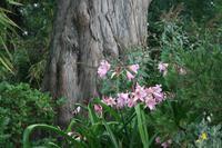 Jersey Lilie im Coronation Park