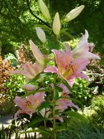 Im Garten von Lady Guthrie - Lilien