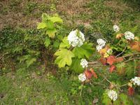 Ahornblatthortensie im Privatgarten von Mr. und Mrs.Bieni