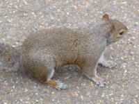 Eichhörnchen St. James Park