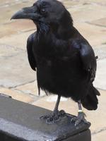Raven im Tower
