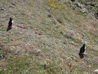 Papageientaucher am Sumburgh Head, Shetlands