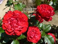 Sark-Rosen im Garten der Seigneurie
