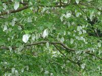 Jersey/Rozel-Taschentuchbaum