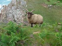 Jersey-Devil´s Hole-Schaf mit 4 Hörnern