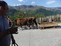 Georgien, unterwegs von Mestia, Zugbullen mit Schlitten