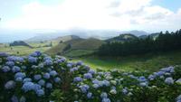 Blüte der blauen Hortensien