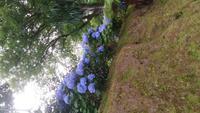 Hortensien im Park Terra Nostra