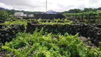 Weinanbau auf den Azoren