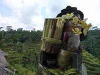 Reiseterrassen bei Ubud