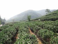 Hangzhou - Teeplantage