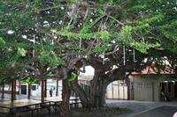 Ciudad Colon - Kalebassenbaum