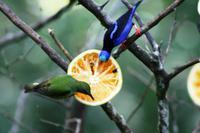 Türkisnaschvogel und Palmentangar