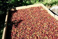 Kaffeetour in Monteverde