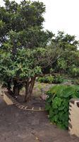 Teneriffa, Tacoronte, Herrenhaus, mispelbaum und Yams