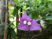 Teneriffa, Puerto de la Cruz, Garten Sitio Litre, Bougainvillablüte