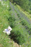 Bärchen im Lavendelfeld
