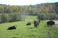 Bisons im Omega-Wildpark