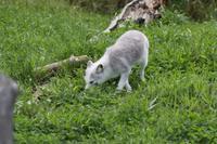 Omega-Wildlifepark  - Polarfuchs