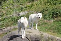 Omega-Wildlifepark  Polarwolf