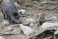 Omega-Wildlifepark - Sau mit Frischling