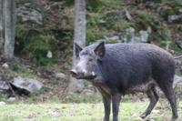 Omega-Wildlifepark - Wildschwein