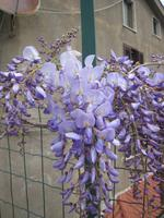 Blauregen in voller Blüte