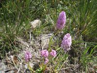 Orchidee Knabenkraut