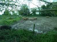 Jersey, glückliche Schweine