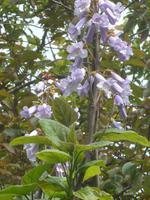 Jersey, Privatgarten Mrs. Lea, Blauglockenbaum