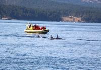 Walbeobachtung vor Victoria - Killerwale, Orcas