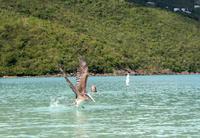 Pelikan in der Magens Bay