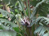 Madeira, Funchal, Botanischer Garten, Bananenstrelizie