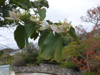 Madeira, Funchal, Botanischer Garten, Kamelfußbaum