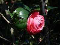 Madeira, Funchal, Palheiro Garden, Japanische Kamelie