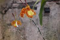 Orchideen-Blüten