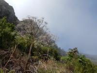 Madeira, Weg zum Pico Ruivo, schwarze Petersilie