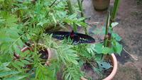 Malaysia, Cameron Highlands, Schmetterlingsfarm