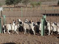 Singlereise Namibia – Schafe auf der Dabis-Farm